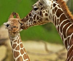 giraffe, kiss, and animal image
