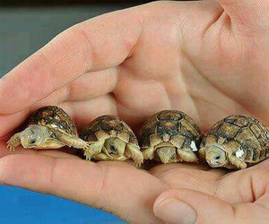 tortoises and greek tortoise image