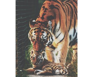 animals, tiger, and cute image