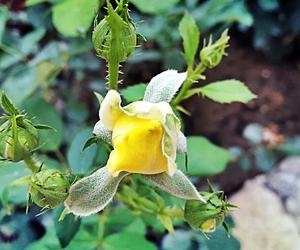 flower, yellow, and ًورد image