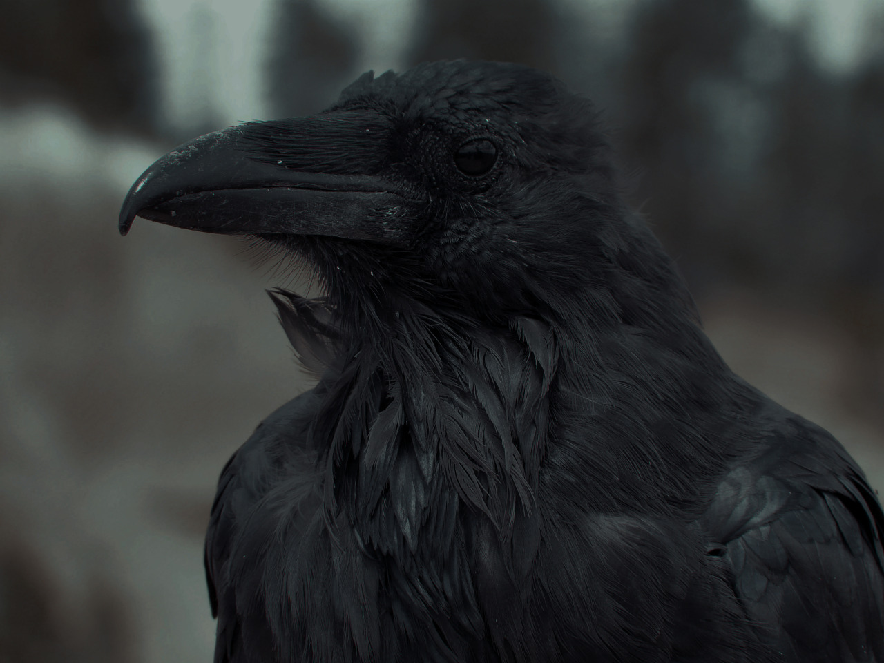 black, crow, and animal image