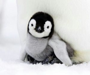 penguin, cub, and ice image