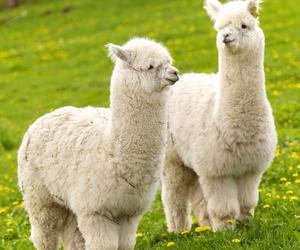 alpaca image