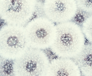 white, wallpaper, and dandelion image