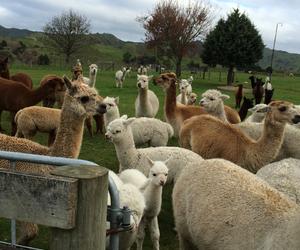 alpacas and nzwh image