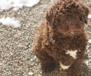 puppy, lagotto romagnolo, and cute image