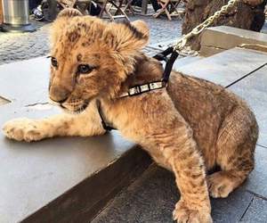 animal, lion, and cute image