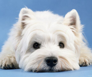dog, westie, and cute image