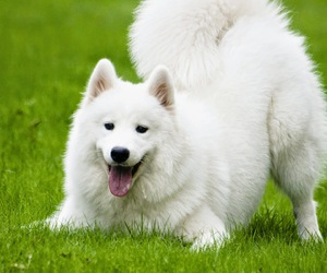 cute dogs and Samoyed image