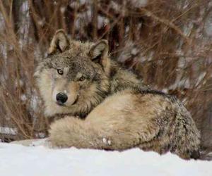 animal, nature, and ookami image