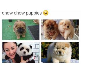 puppy, cute, and chow chow image