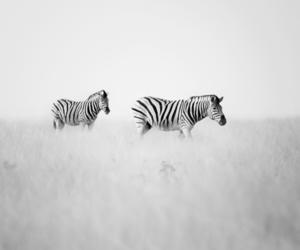 zebra, animals, and nature image