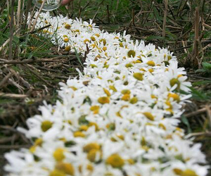 daisy, flowers, and grass image
