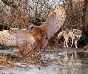 owl and wolf image