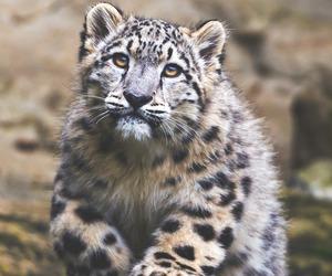 beautiful, rocks, and snow leapard image
