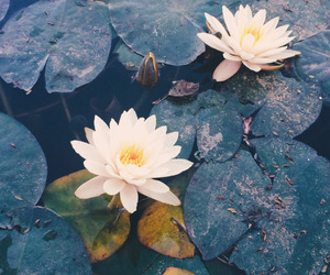 flowers, water, and waterlily image
