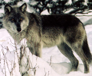 in the snow, pretty fur color, and dark aubray color image