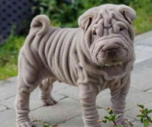 fluffy, cute, and sharpei image