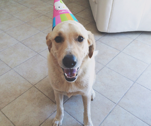 birthday, dog, and labrador image