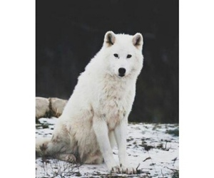 animal, lobo, and nature image