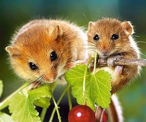 baby animals, cute animals, and mouse image