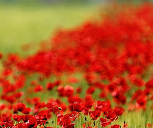 flowers, poppies, and red image