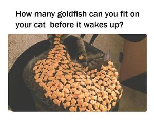 cat, funny, and goldfish image