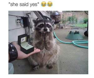 funny, raccoon, and yes image