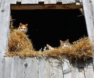 barn, cats, and country image