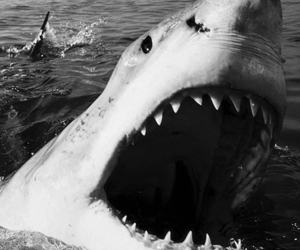shark and black and white image