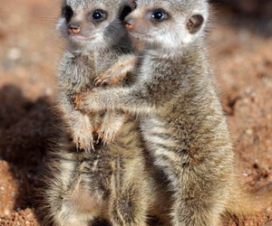 animal and meerkat image