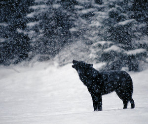 wolf and winter image