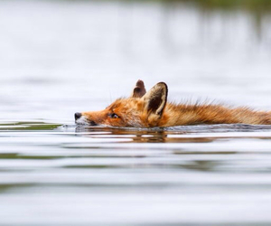 animals, beauty, and fox image