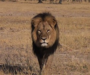 cecil, lion, and r.i.p image