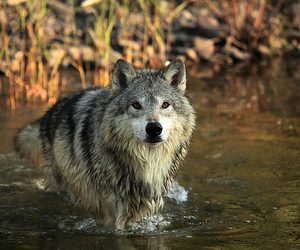 wolf, water, and animal image