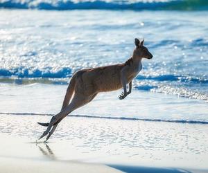 australia and kangaroo image