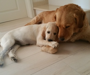 adorable, dog, and golden retriever image