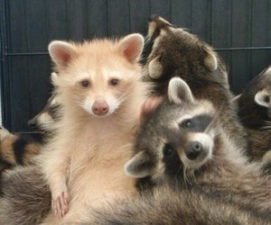 love and racoons image