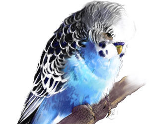 budgie, parrot, and cute image