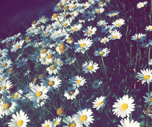 daisy, nature, and vintage image
