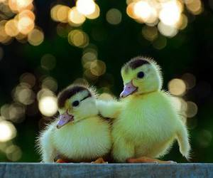 duck and cute animals image