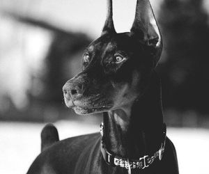 dog, black, and doberman image