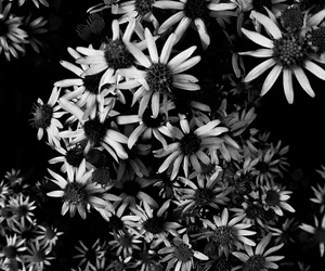 black and white, daisy, and flower image