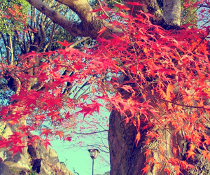 japan, autumn leaves, and maple tree image