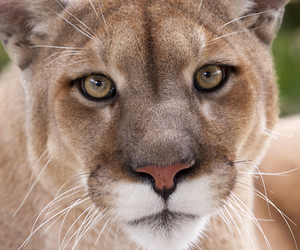 big cats, cute animals, and panther image