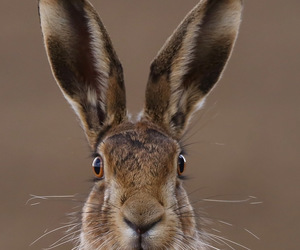 hare and brown image