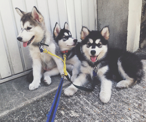 adorable, huskies, and puppies image