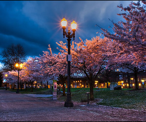 cherry blossoms, copyright, and reserved image