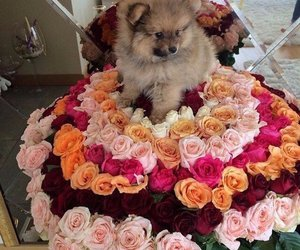 flowers, dog, and rose image