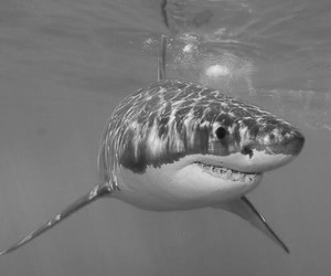 great white shark and shark image